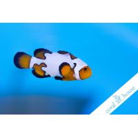 "Amphiprion Ocellaris Platinium Wide Band ""S"""