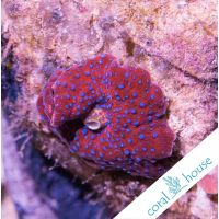 Ultra Discosoma Sp. Red with Blue Dots