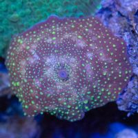 Ultra Purple Green Spotted Discosoma Sp.