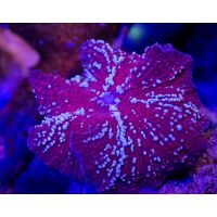 Ultra Discosoma Sp. Red Devil Jawbreaker