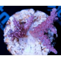 Acropora Light pink
